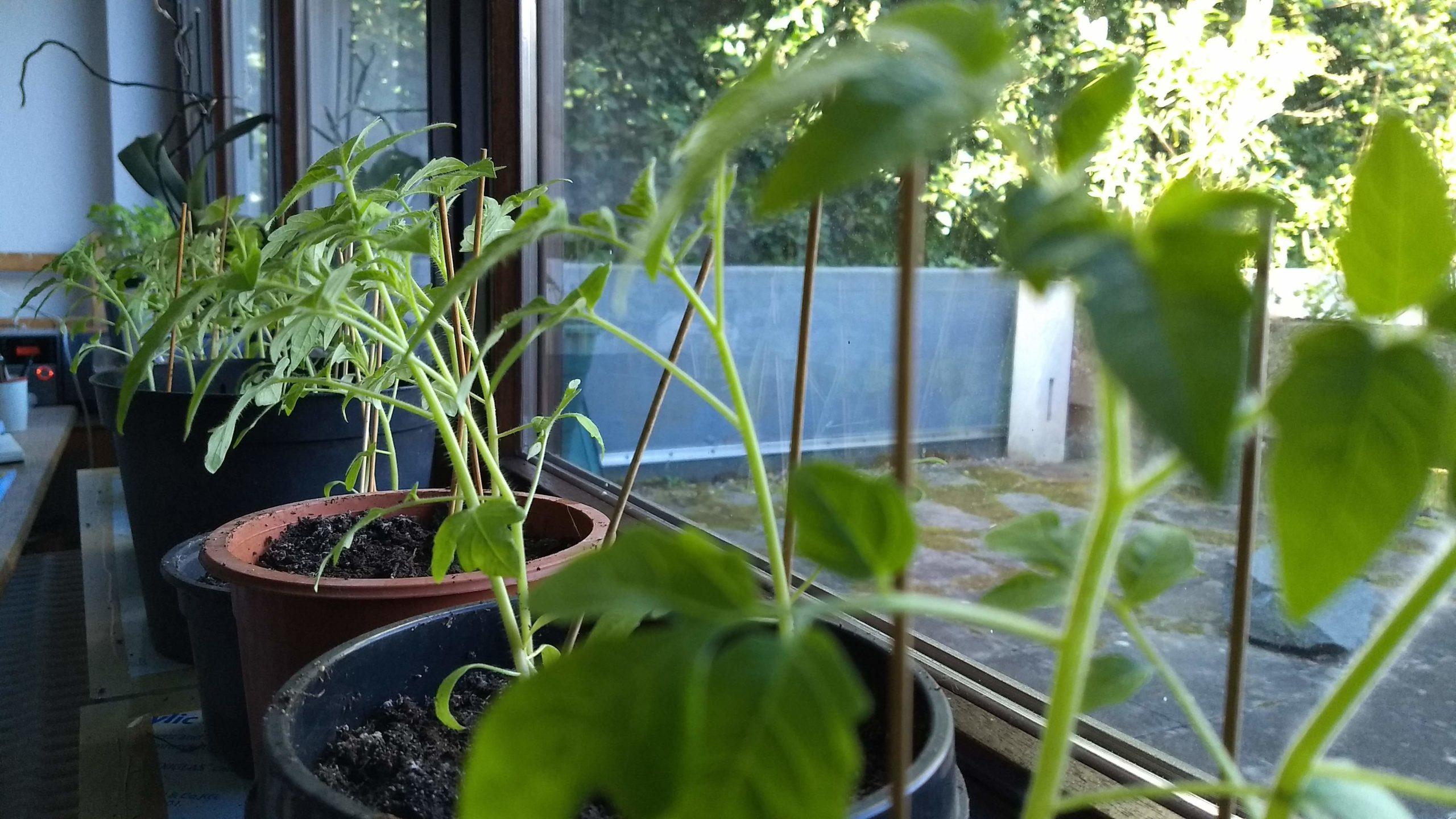 2020_Tomaten_Pflanzen_Atelier